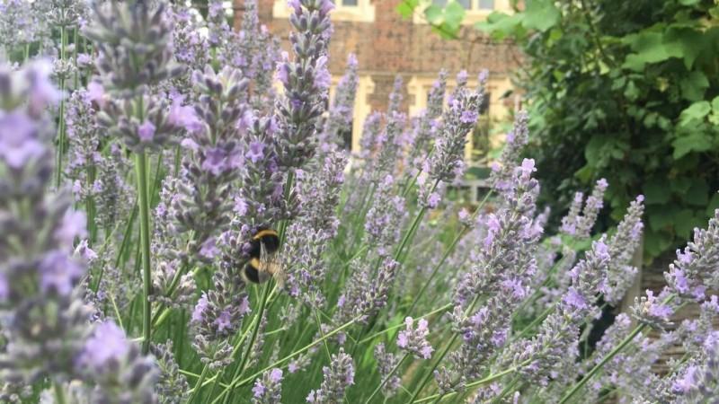 lavender alice